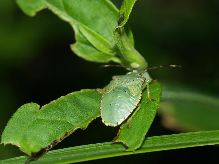 ハサミツノカメムシ幼虫?_c0116915_2150297.jpg