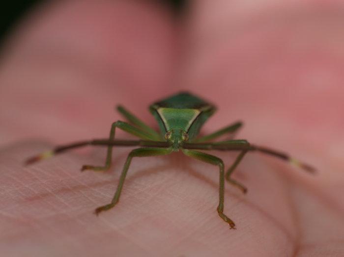 オオクモヘリカメムシの成虫と幼虫の匂い_c0116915_22113786.jpg