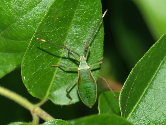 オオクモヘリカメムシの成虫と幼虫の匂い_c0116915_22142469.jpg