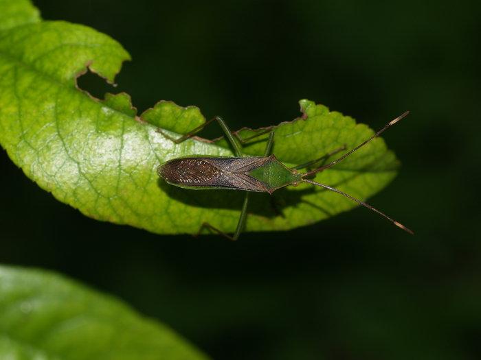 オオクモヘリカメムシの成虫と幼虫の匂い_c0116915_2254125.jpg