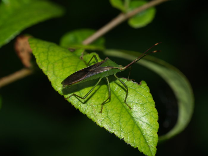 オオクモヘリカメムシの成虫と幼虫の匂い_c0116915_2261288.jpg
