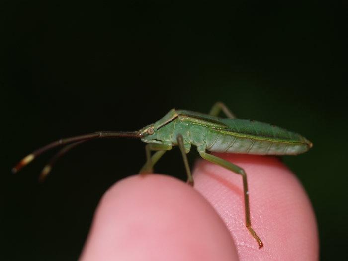 オオクモヘリカメムシの成虫と幼虫の匂い_c0116915_2294324.jpg