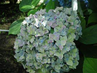 8月11日 秋色紫陽花へは・・・もうしばらくお待ち下さい。。。_c0127703_3503554.jpg