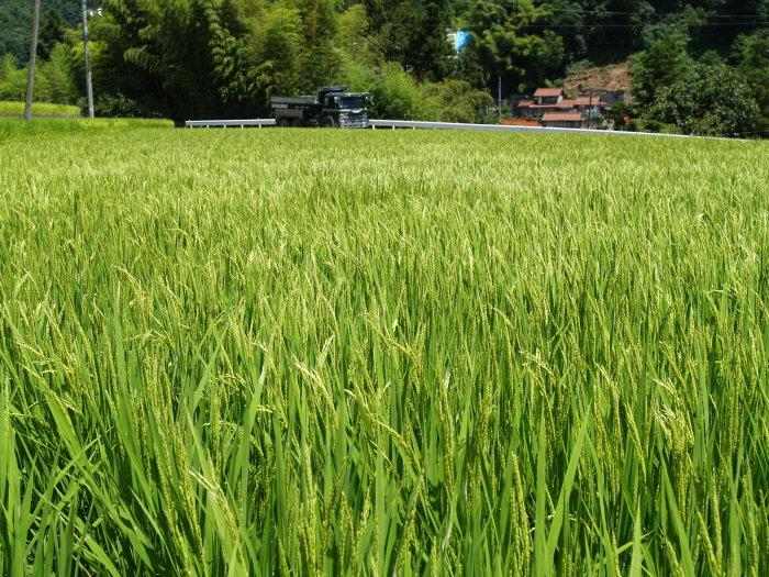 稲など。。_c0116915_22383546.jpg
