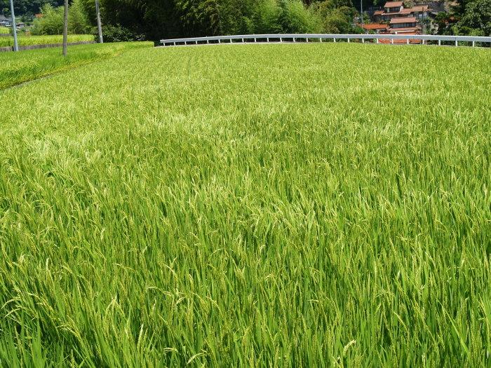 稲など。。_c0116915_22393645.jpg