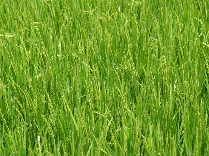 稲など。。_c0116915_22402790.jpg