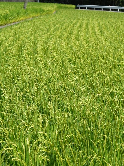 稲など。。_c0116915_22425470.jpg