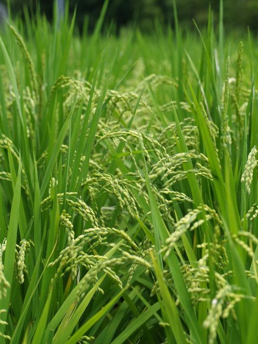 稲など。。_c0116915_22442655.jpg