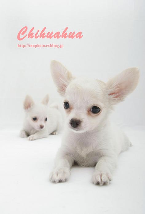 Chihuahua_d0101050_114112100.jpg