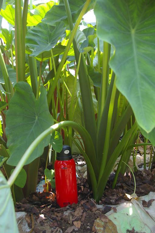 猛暑に負けず里芋が元気一杯に育っているぞ!(8・10)_c0014967_720243.jpg