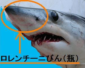 アオザメ : ユーラシア大陸果ての定置網