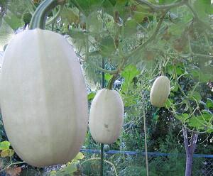素麺かぼちゃ。その2_a0089450_21132664.jpg