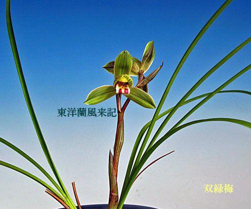 ◆中国蘭・奥地蘭・豆蓮弁「双緑梅」,、。       No.74_d0103457_0282457.jpg
