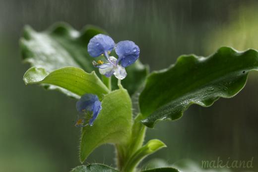 ツユクサ科(Commelinaceae)_d0096455_13294146.jpg