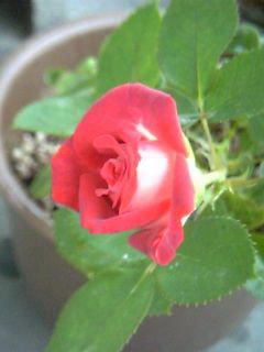 花の記憶 ココチーノ_a0042928_11314572.jpg