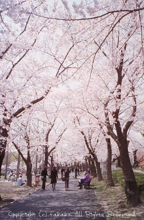NATURAな桜_c0070460_18194053.jpg