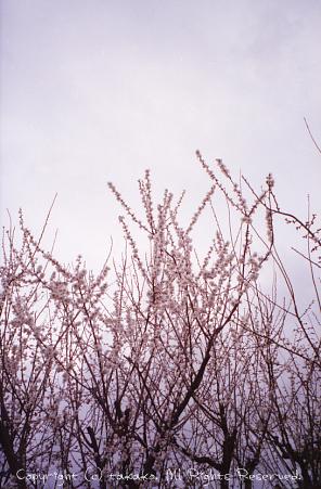 NATURAな桜_c0070460_18195030.jpg