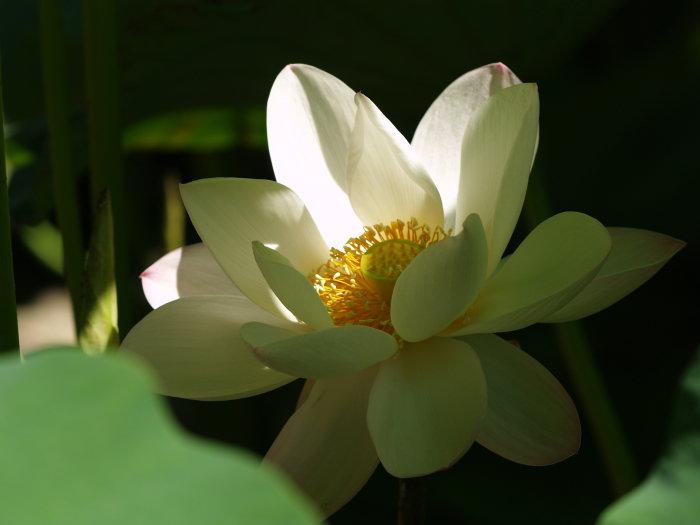 蓮の花_c0116915_23223936.jpg
