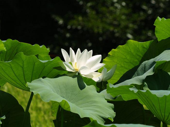 蓮の花_c0116915_2323083.jpg