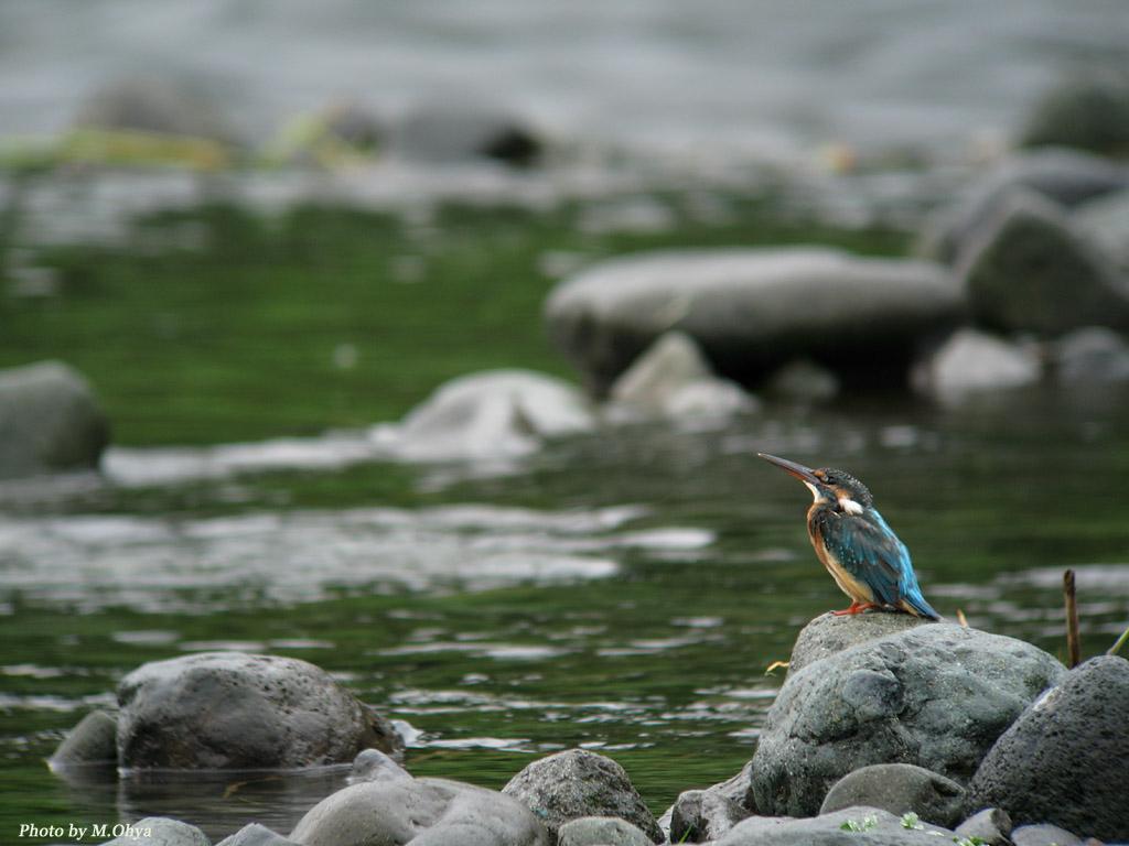 河原のカワセミ_f0003418_21482375.jpg