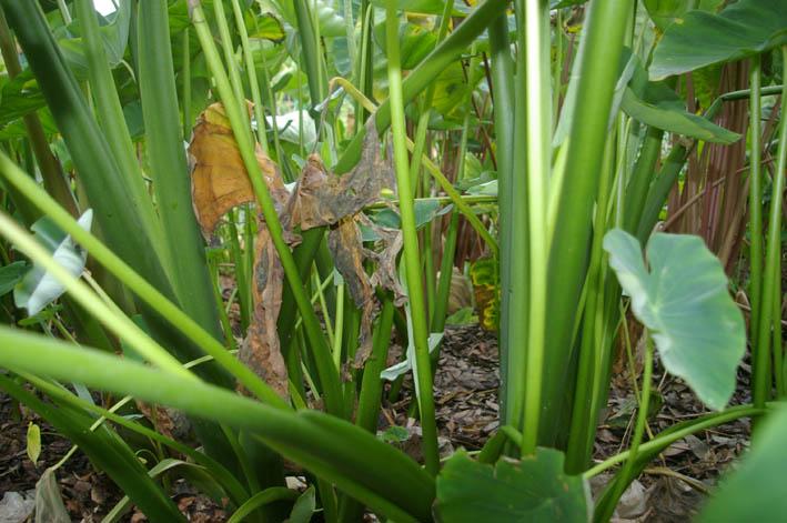 まさに恵みの雨、里芋が生き返った!(07・8・18)_c0014967_8514050.jpg