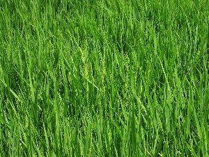 稲の観察会_d0120421_15201258.jpg
