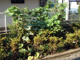 カボチャの葉、繁殖_c0110869_22455887.jpg