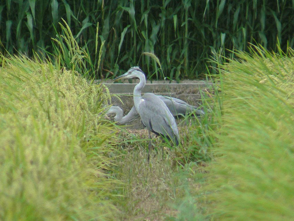 2羽のアオサギの幼鳥/若鳥_e0088233_23343862.jpg