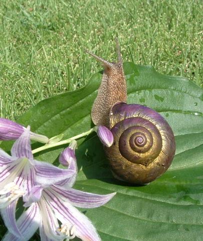 紫と金色殻のカタツムリ・・・虫ではなく貝の仲間_b0092858_21234253.jpg