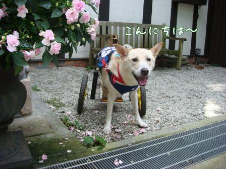 チャリンジャー(犬用車椅子)_f0064906_18114493.jpg