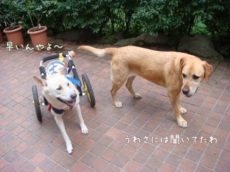チャリンジャー(犬用車椅子)_f0064906_18122666.jpg