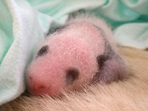 ★パンダ~赤ちゃんパンダの誕生から成長の記録\(゚o゚;)/_a0028694_104982.jpg