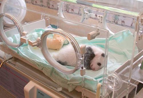 ★パンダ~赤ちゃんパンダの誕生から成長の記録\(゚o゚;)/_a0028694_10513246.jpg