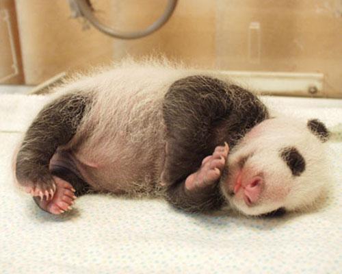 ★パンダ~赤ちゃんパンダの誕生から成長の記録\(゚o゚;)/_a0028694_1059935.jpg