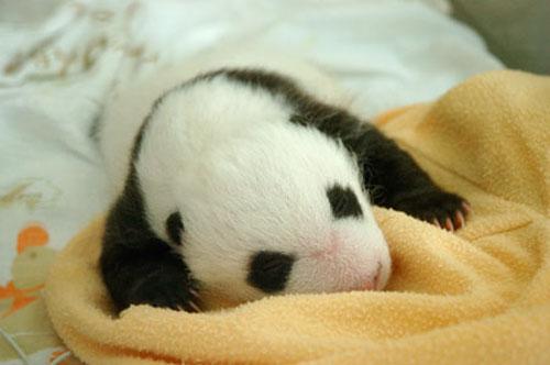 ★パンダ~赤ちゃんパンダの誕生から成長の記録\(゚o゚;)/_a0028694_1123479.jpg