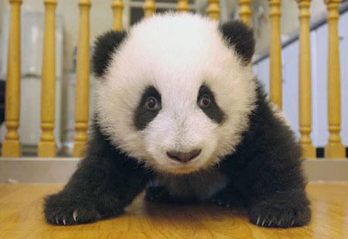 ★パンダ~赤ちゃんパンダの誕生から成長の記録\(゚o゚;)/_a0028694_1133236.jpg