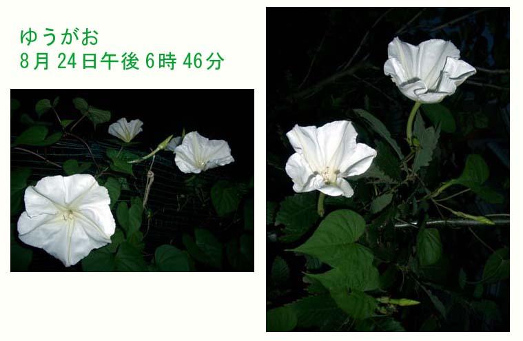 ゆうがお_f0129726_21575028.jpg