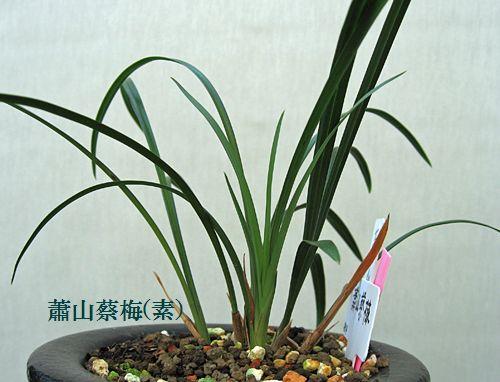 ◆東洋蘭・中国春蘭「蕭山蔡梅」、。       No.82_d0103457_1918333.jpg