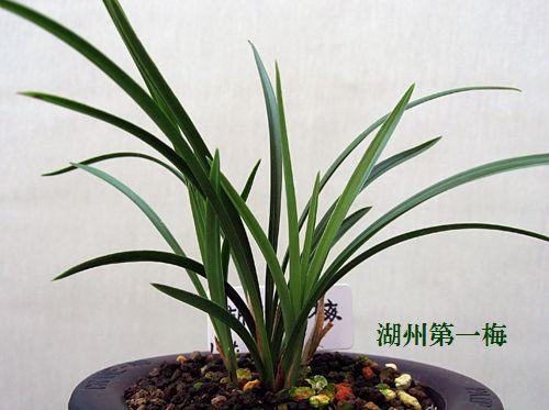 ◆東洋蘭・中国春蘭「湖州第一梅」、。        No.83_d0103457_2117966.jpg