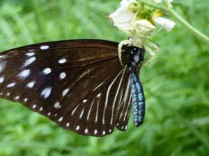 蝶を捕食しているオキナワアズチグモ_b0025008_1451171.jpg