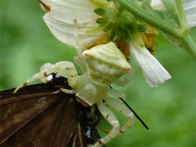 蝶を捕食しているオキナワアズチグモ_b0025008_1452398.jpg
