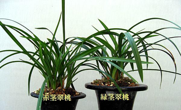 ◆東洋蘭中国春蘭「翠桃」の2系統、。      No.84_d0103457_20295463.jpg