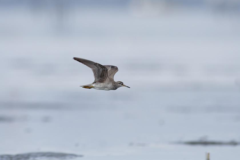 干潟を飛ぶ鳥_c0001429_0112783.jpg
