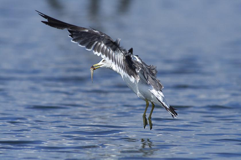 干潟を飛ぶ鳥_c0001429_0121589.jpg