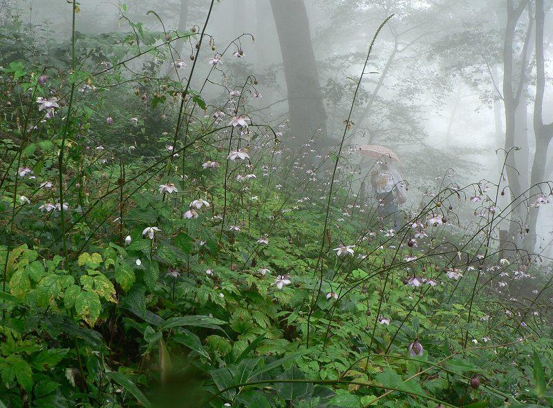 霧中に咲く御嶽のレンゲショウマ_d0037240_154358.jpg