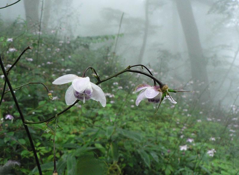 霧中に咲く御嶽のレンゲショウマ(2)_d0037240_15462646.jpg