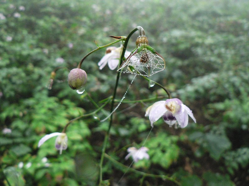 霧中に咲く御嶽のレンゲショウマ(2)_d0037240_16223883.jpg
