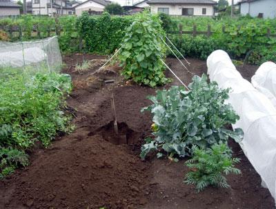冬野菜用畝作り_e0097534_1858433.jpg