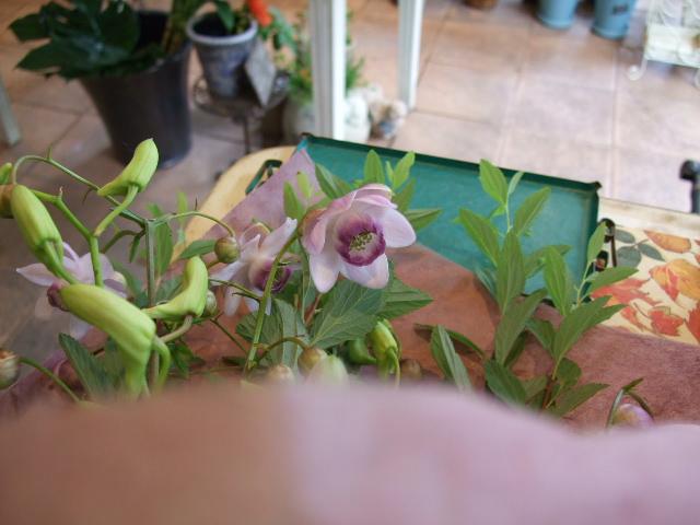 オークリーフ(レンゲショウマの花束)_f0049672_1275418.jpg