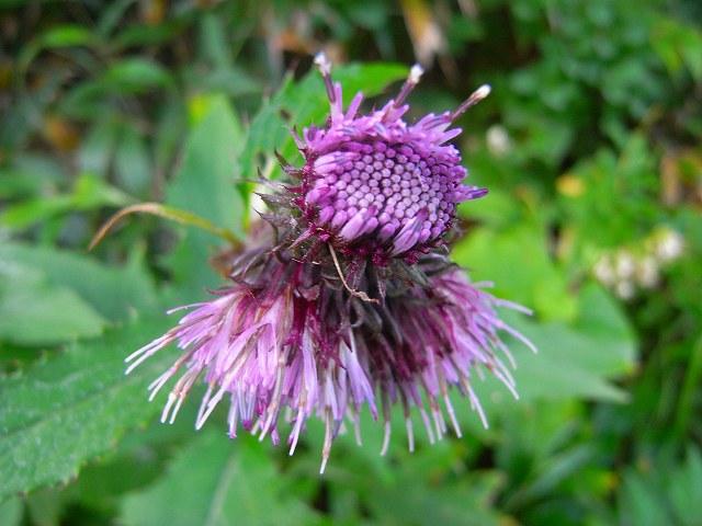 8月30日富良野岳の花1_f0138096_12324692.jpg